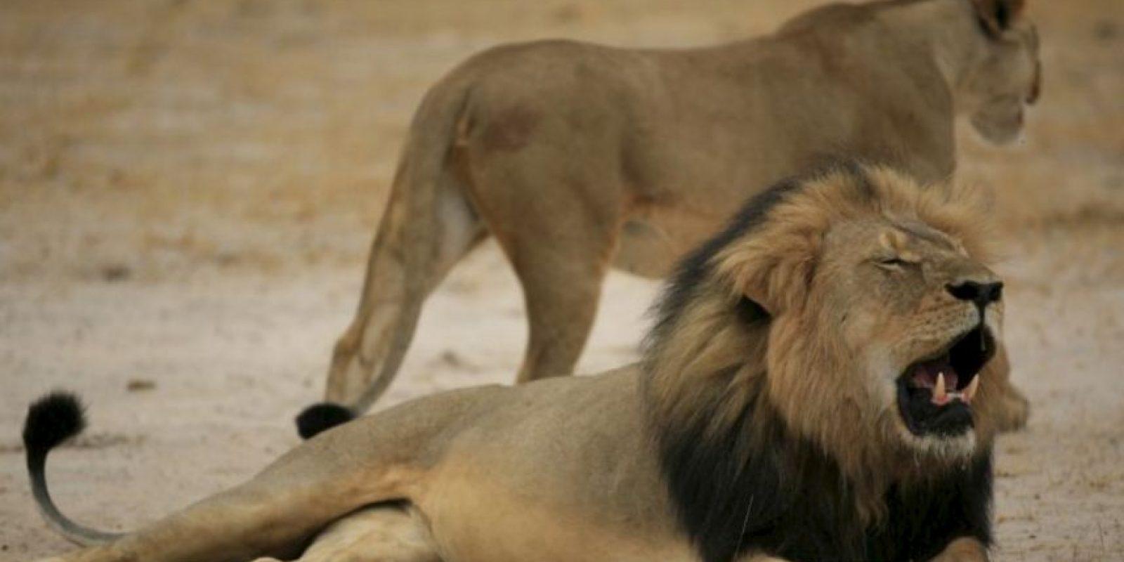 Cecil era un león de 13 años protegido en la reserva de Hwange, Zimbawe. Foto:vía AFP