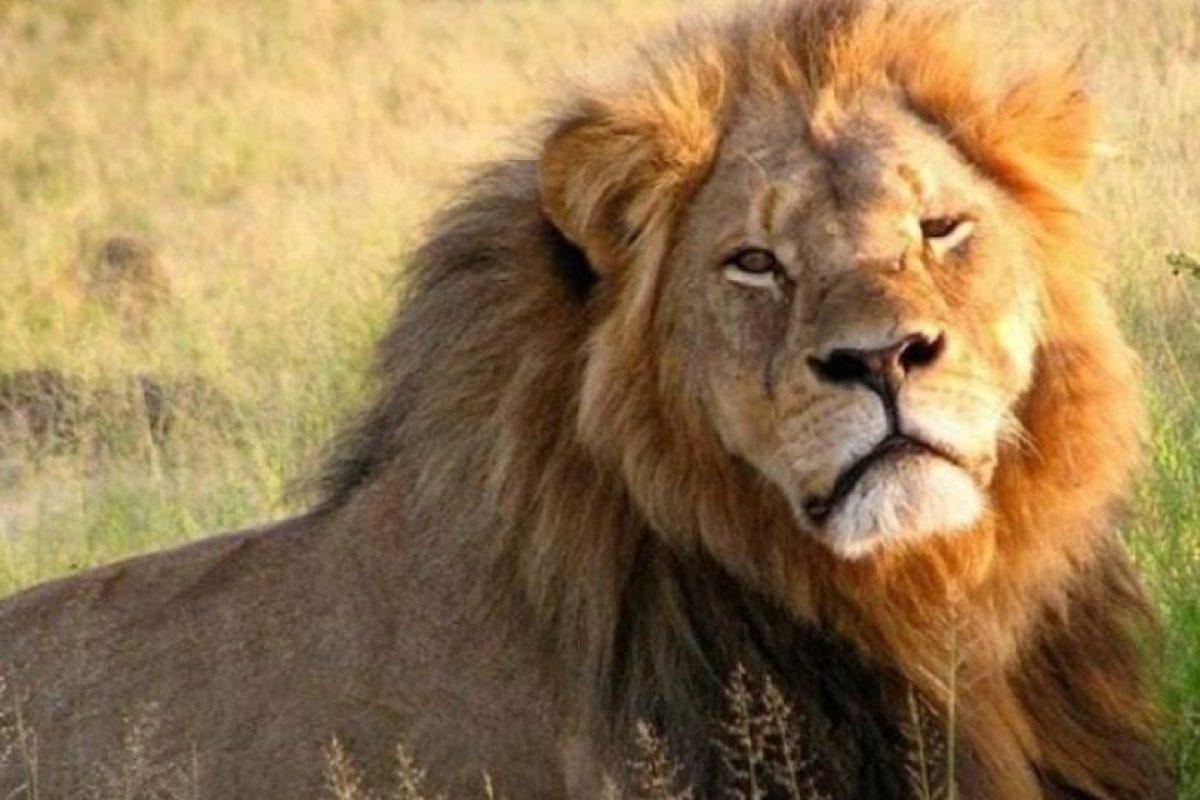 """Goodwell también mencionó: """"Personas por el Trato Ético de los Animales (PETA) pide que se ahorque al cazador. Y muchos americanos que no sabrían poner Zimbabue en un mapa aplauden que se quiera extraditar al dentista, mientras ignoran que en el banquete del aniversario de nuestro presidente se mató a una cría de elefante"""". Foto:Vía Instagram/#Cecil"""