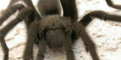 Generalmente las arañas llegan a causar shock nervioso en el aracnofóbico. Foto:vía Getty Images
