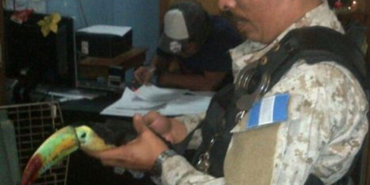 Rescatan a tucán que fue lesionado cuando traficantes lo querían atrapar