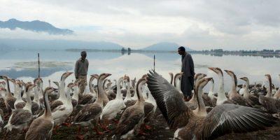 Campesinos alimentan gansos en la India. Foto:AFP