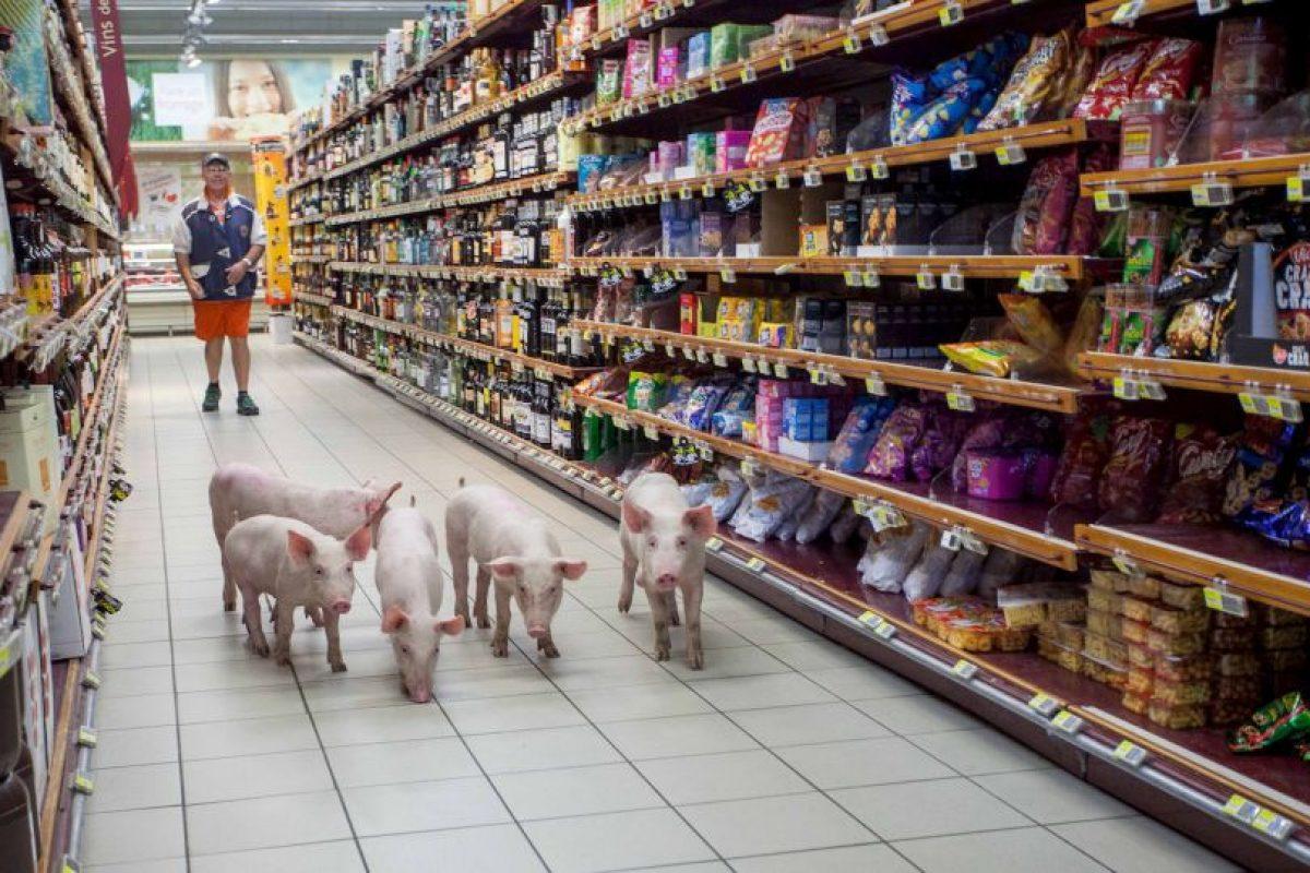 Cerdos liberados en un supermercado como parte de una protesta de agricultores en Foto:AFP
