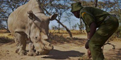 Sudán, el último rinoceronte macho blanco, tiene su guardia personal
