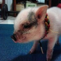 Foto: Instagram.com/nena_the_tropical_pig
