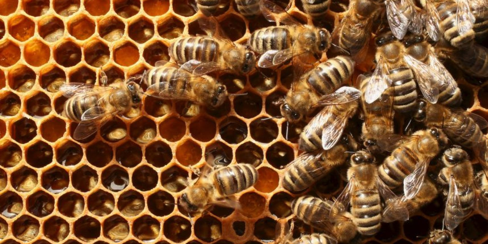 Se caracterizan por tener alas bien delgadas y transparentes, que en algunos casos, de determinadas especies de abejas es permite realizar un vuelo de hasta 13 kilómetros Foto:Getty Images