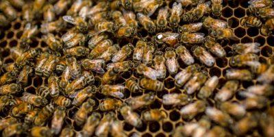 Las abejas se alimentan básicamente de Polen y Nectar, sustancias ambas que se encuentran en las flores, utilizan las primeras para alimentar a las larvas, y las segundas para generar energías. Foto:Getty Images