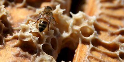 Estos insectos son conocidos por ser los polinizadores mas grandes en todo el mundo y por ser esenciales para el mantenimiento del ecosistema Foto:Getty Images