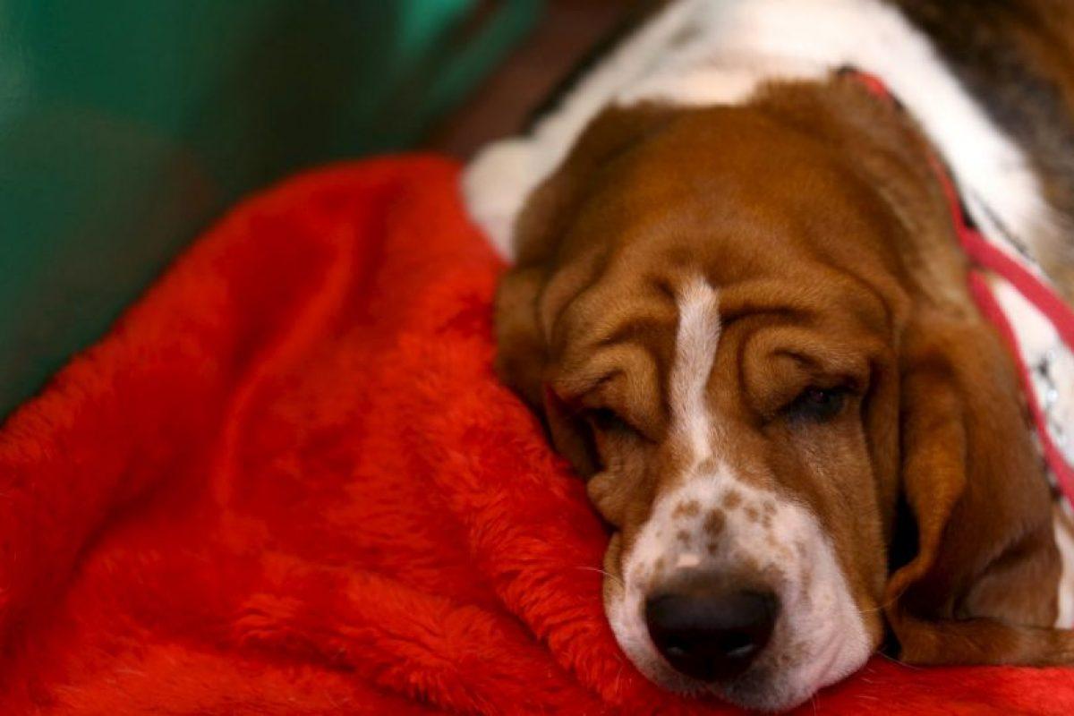 Gracias a este estudio ahora también se sabe que crea grandes lazos afectivos entre humanos y perros. Foto:Getty Images