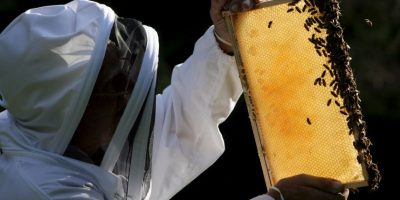 Dentro de este grupo existen las abejas Foto:Getty Images