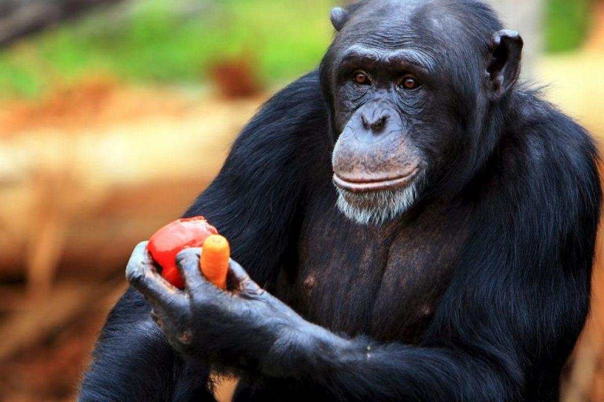 También son capaces de moverse eficazmente saltando de rama en rama por los árboles, donde obtienen la mayor parte de su alimento. Foto:Getty Images