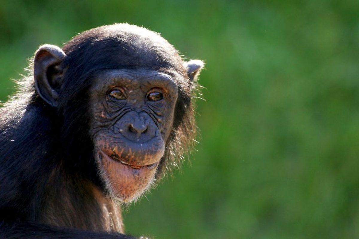 Los chimpancés viven en comunidades formadas por varias docenas de individuos, y se han habituado a vivir en las junglas, los bosques y las sabanas de África. Foto:Getty Images