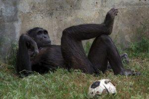 Por lo general, los chimpancés duermen también en los árboles, en nidos hechos con hojas. Foto:Getty Images