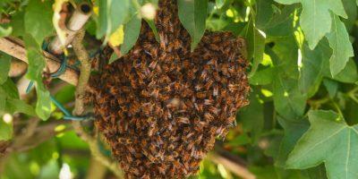 Finalmente la abeja reina, existe una sola en toda la colmena y es lógicamente hembra. Foto:Getty Images