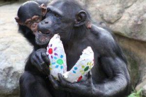 Los chimpancés son capaces incluso de aprender algunos elementos básicos del lenguaje humano de signos. Foto:Getty Images. Información: National Geographic