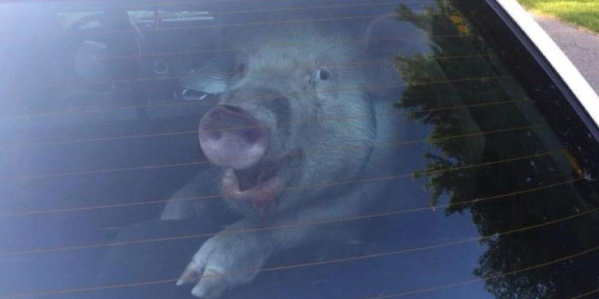 Estudio: Los cerdos, entre los animales más inteligentes del mundo