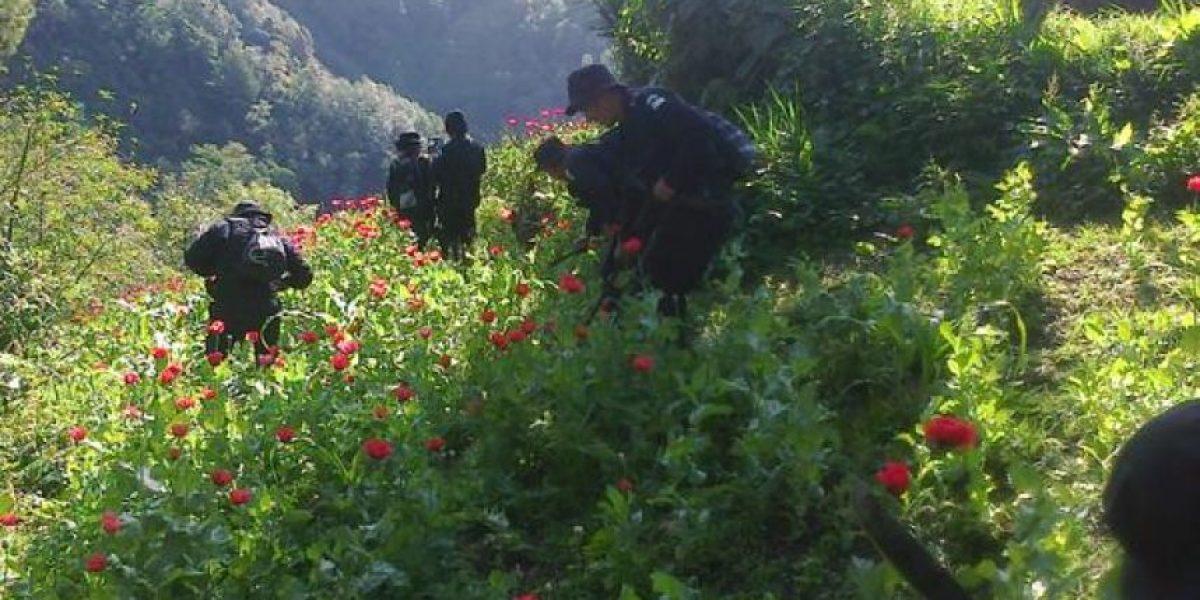 Policía erradica miles de plantas de amapola en San Marcos