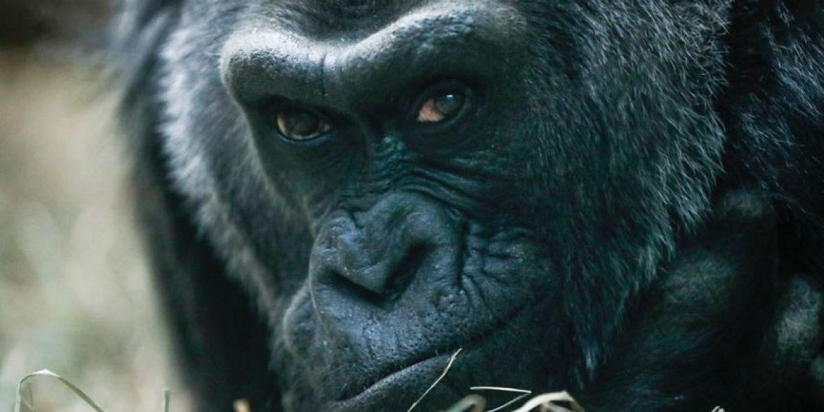 Colo, la gorila más longeva en Estados Unidos, cumple 60 años