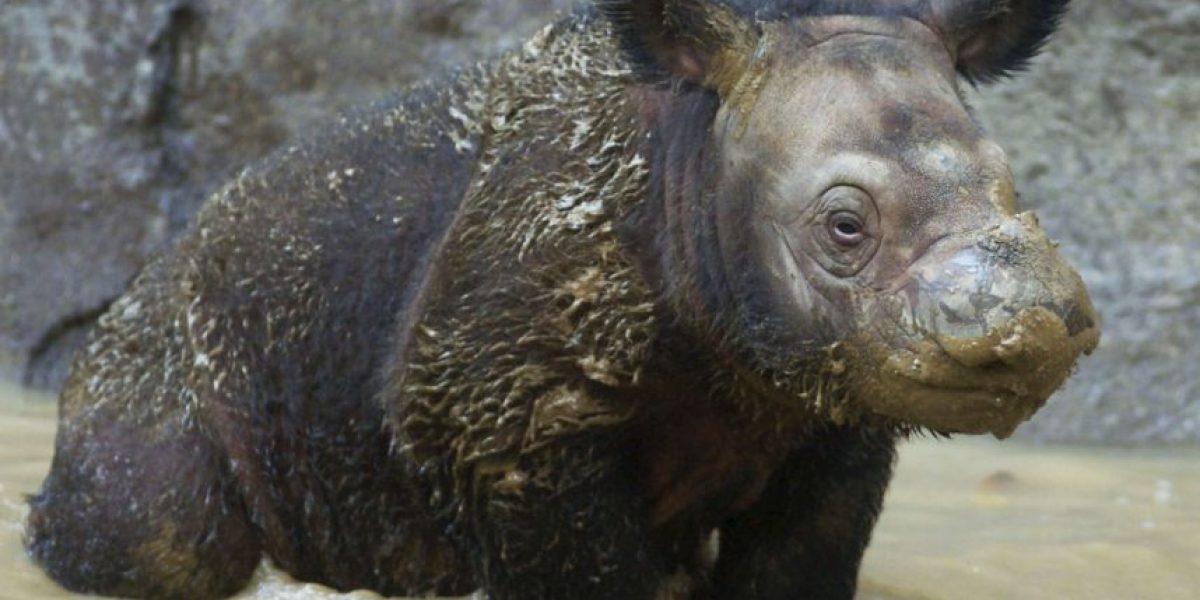 Se extingue una especie de rinoceronte