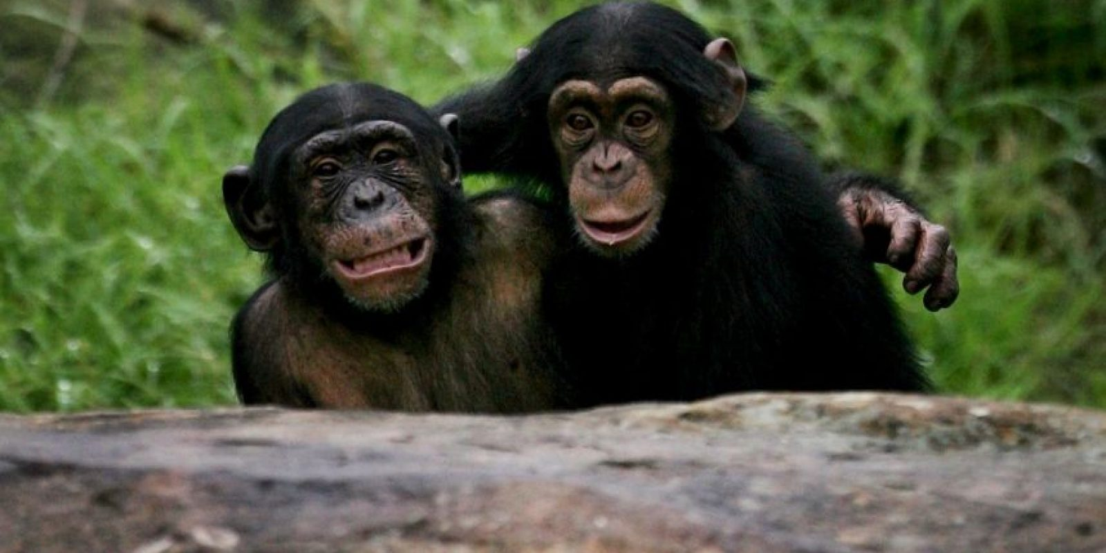 Descubren que los chimpancés consumen alcohol voluntariamente Foto: Getty Images