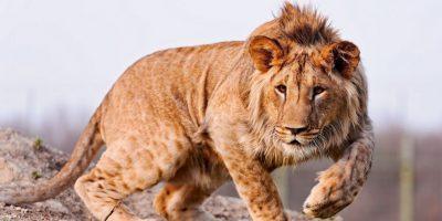Supuestamente los reyes del reino animal. Foto:vía Wikipedia