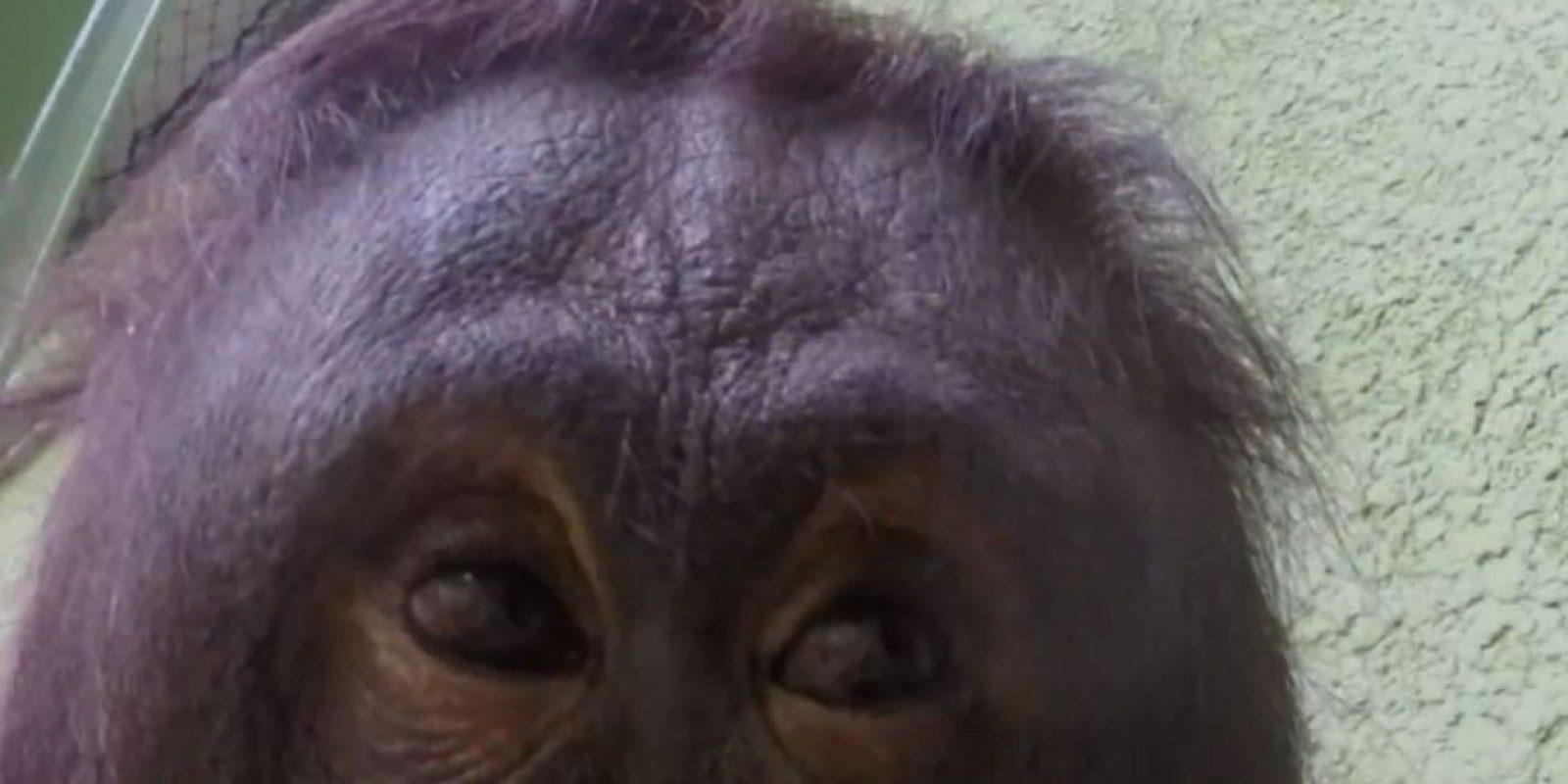 El orangután inspeccionó una cámara que le dieron y el resultado fue un gracioso video Foto:YouTube / Blackpool Zoo