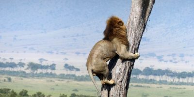 Esto le pasó a un pobre león que se aventuró a cazar en Kenia. Foto:vía Barcroft Media