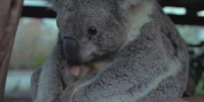 Así se demostraron amor esta mamá y su bebé koala. Foto:Vía Youtube