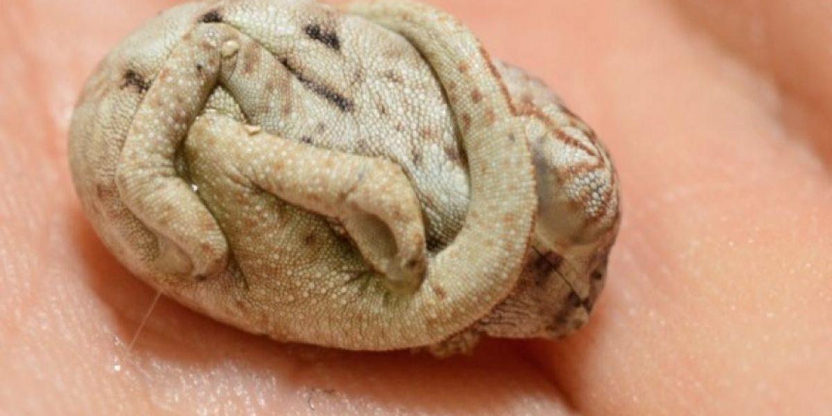 FOTOS: Este bebé camaleón no se ha dado cuenta de que ya no está en su huevo