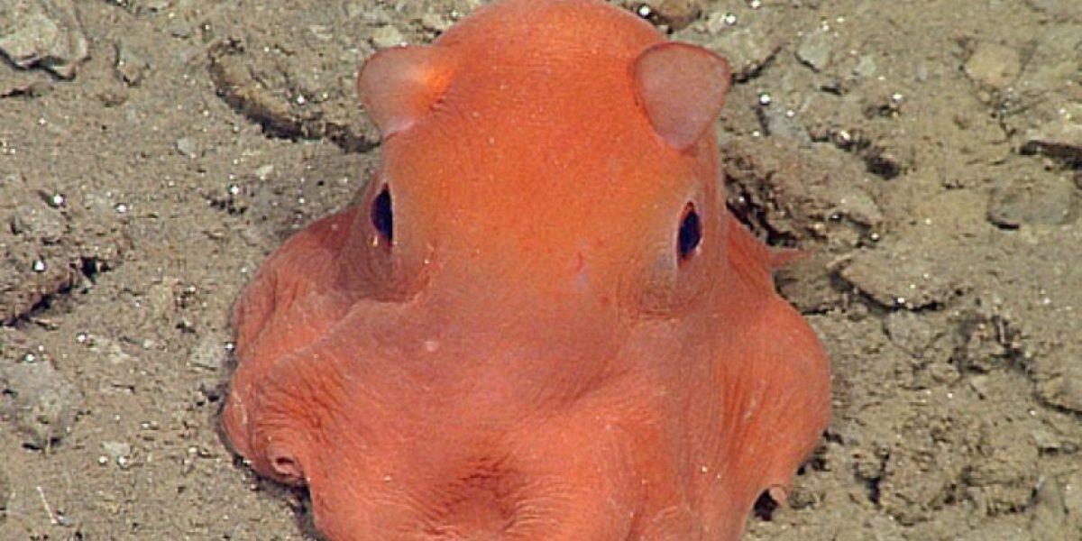 FOTOS: Esta nueva especie de pulpo es la más adorable del mundo