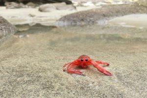 Más de mil cangrejos invadieron las playas de San Diego. Foto:Vía flickr.com/scrippsocean