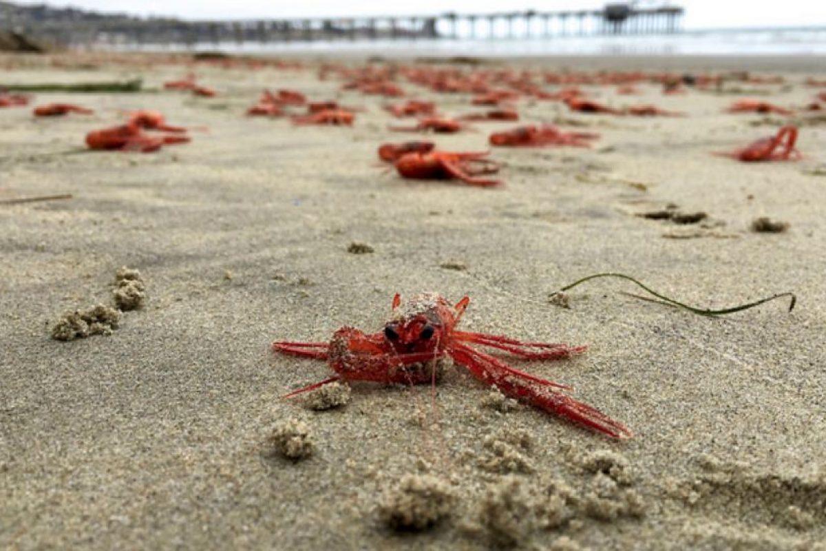 Esta especie es conocida como cangrejos de atún Foto:Vía flickr.com/scrippsocean