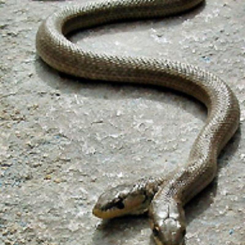 Serpiente de dos cabezas. Foto:vía Flickr