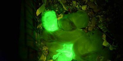 Inyectaron el gen en las madres y así salieron sus crías. Foto:vía Universidad de Hawai