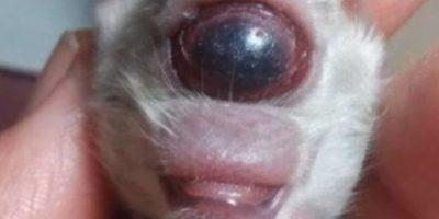 Este tigre de Bengala nació con malformaciones genéticas. Con un ojo. No sobrevivió. Foto:vía Reddit