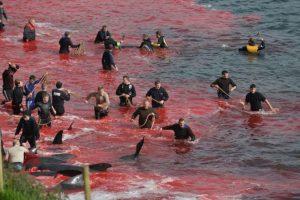 En una absurda (y muy estúpida) tradición de las Islas Feroe, varios aldeanos atraparon a 250 ballenas piloto. Foto:vía Sea Shepherd