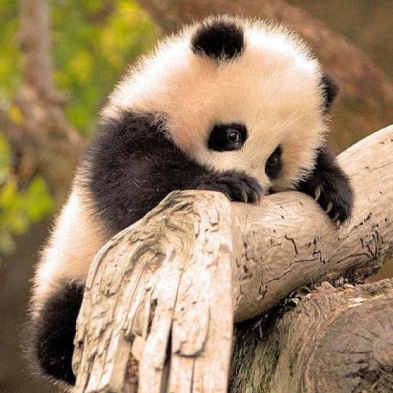 Un tierno pandita Foto:Pixabay