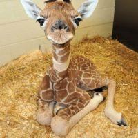 Un bebé jirafa Foto:Pixabay