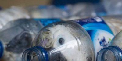 Estas cacatúas iban a ser vendidas en Indonesia. Foto:vía Barcroft Media