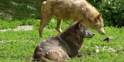 Lobos Foto:Wikimedia