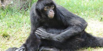 Mono aullador Foto:Wikimedia