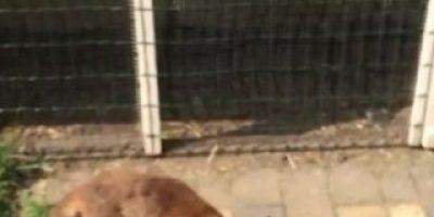 VIDEO: Hombre filma a zorro mientras caza a su presa y este lo ataca