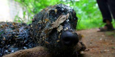 Este pobre perro fue cubierto con brea y hojas y fue abandonado en la India. Foto:vía Facebook/Animal Aid Unlimited