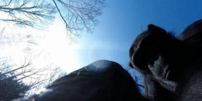 Tushi, la chimpancé experta en derribar drones en zoo neerlandés