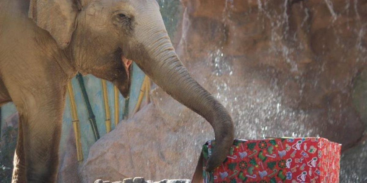 Zoológico La Aurora celebra fiestas navideñas y su 92 aniversario con los animales