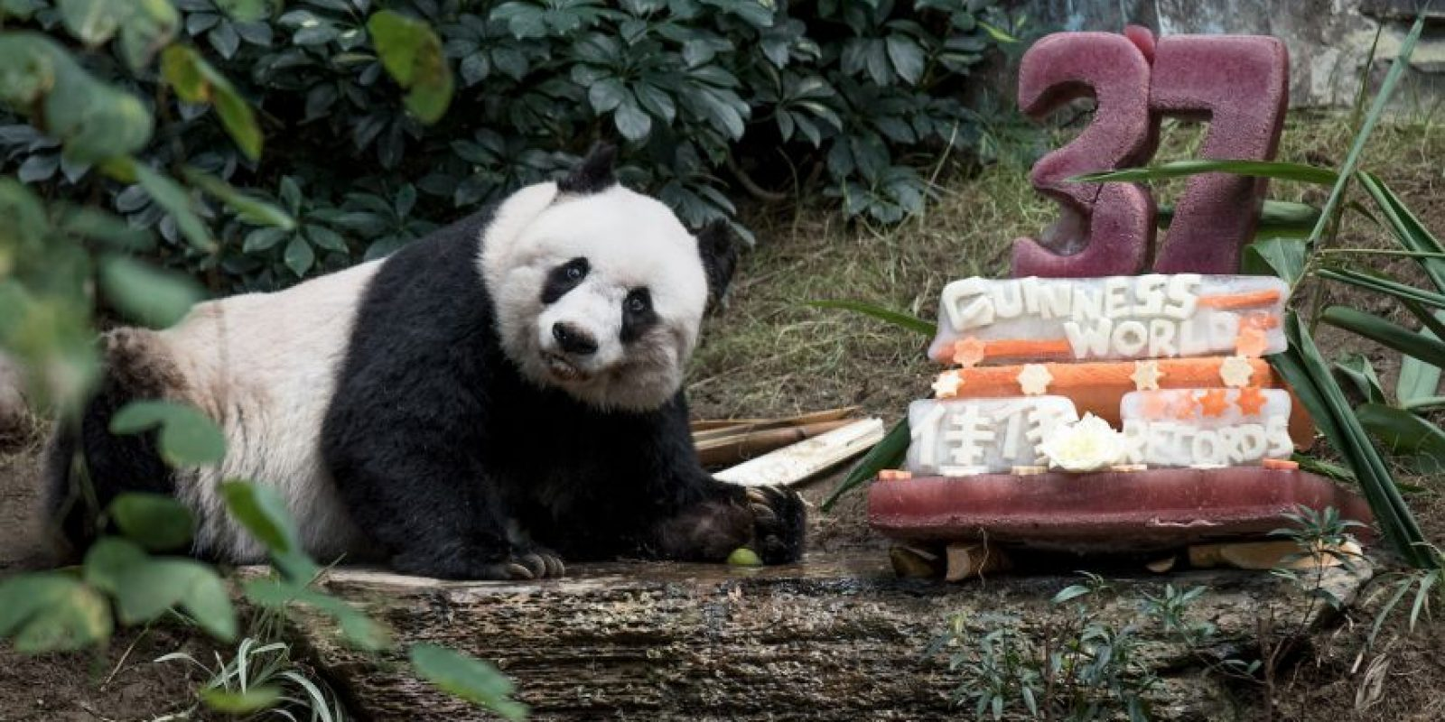 Ella vive en el Ocean Park de Hong Kong. Foto:AFP