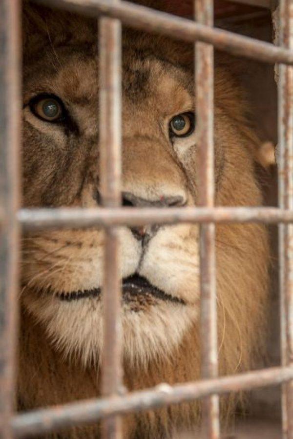 El león visitará su nuevo hogar después de una cuarentena Foto:Facebook.com/RanchoDosGnomos
