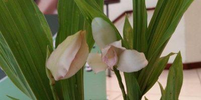 La Antigua Guatemala florecerá con la exposición anual de orquídeas