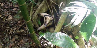FOTOS. Oso hormiguero vuelve a su casa, la selva protegida de la Costa Sur