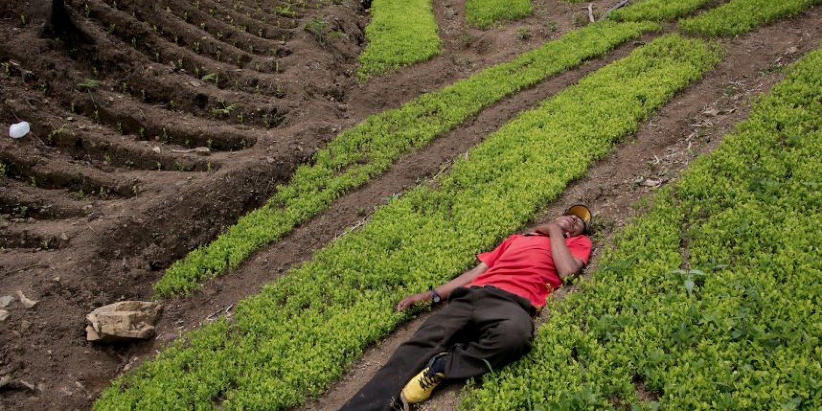 En esta fotografía tomada el 13 de marzo de 2015, Alfredo Mosco, un cultivador de coca de 44 años, se había despachado una botella de licor de caña hacía el mediodía, y duerme en su plantación de coca, en La Mar, provincia de Ayacucho, Perú. Mosco es un pequeño productor de coca, que emplea a los jóvenes aldeanos. Foto:AP Foto/Rodrigo Abd