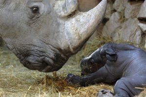 1. Casi se han extinguido debido a los cazadores furtivos. Foto:Getty Images